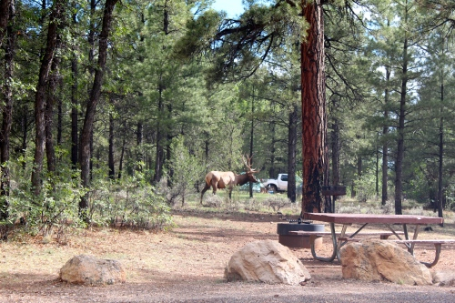 Elk at our campsite!